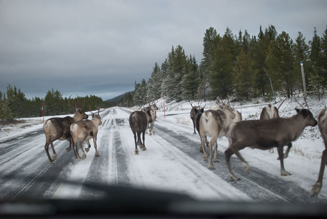 reindeer running gently on a snowy road in the front of a car